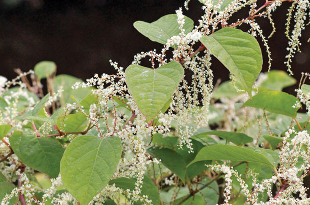 Japanese Knotweed is a problem that can\'t be beaten easily
